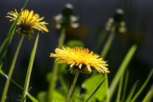 dandelion to beat the post-Christmas bloat