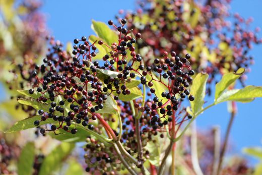 elderberry to help recovery from stomach bug