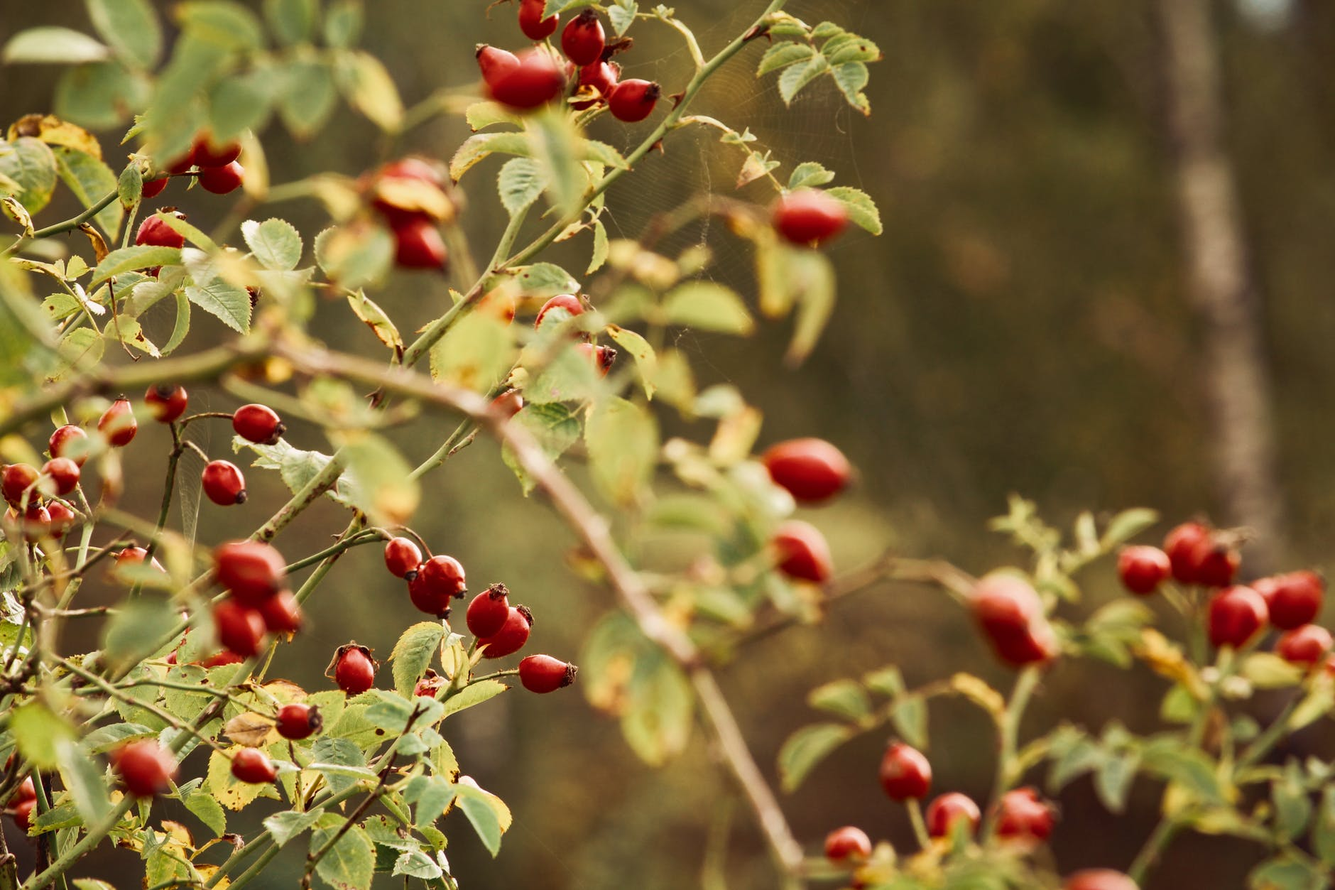 rosehips on branch