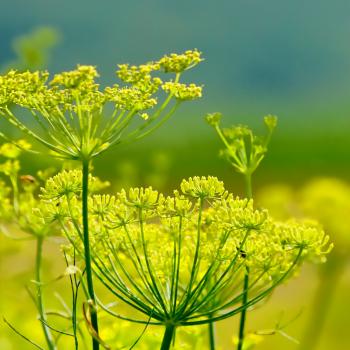 herbal teas - fennel