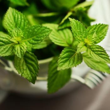 herbal teas - peppermint