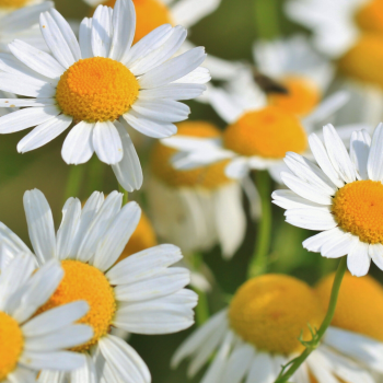 Supporting Eye Health Naturally with chamomile