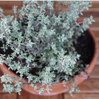 Herbs for Your Respiratory System thyme