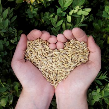 grains for sprouting