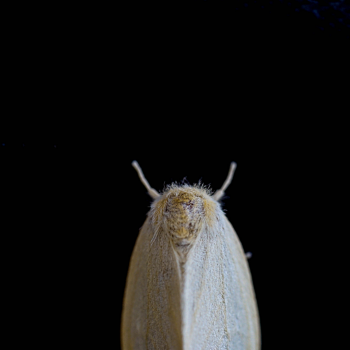 Prevent and Treat Moths and Silverfish Naturally - moth image